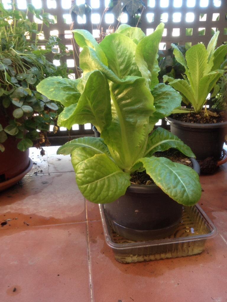 La lechuga en la maceta plantas - La casa de la maceta ...