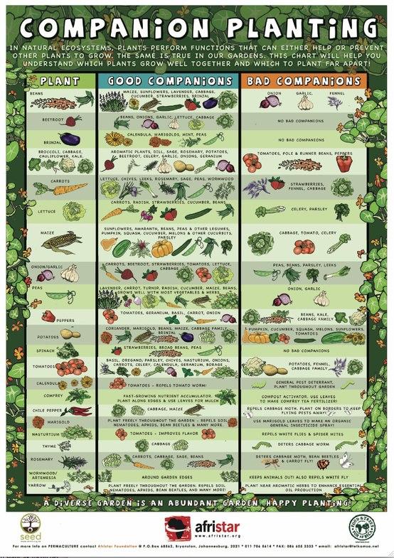 Asociaci n de cultivos diario de siembra asociaci n Asociaciones de cultivos favorables