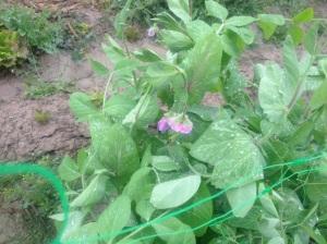 flores de bisaltos