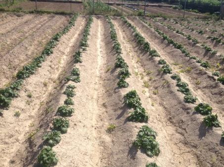 patatas 13-4-14