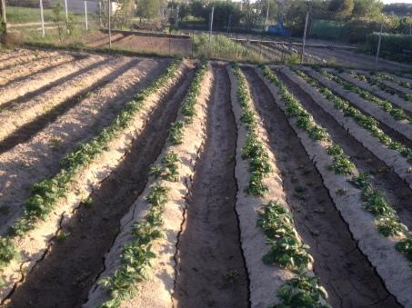 Patatas 15-4-2014