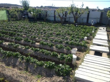 Patatas 17-4-2014