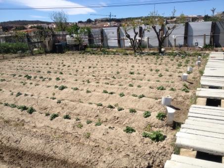 Patatas 8-04-14