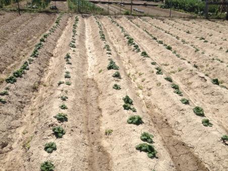 Patatas 8-4-14