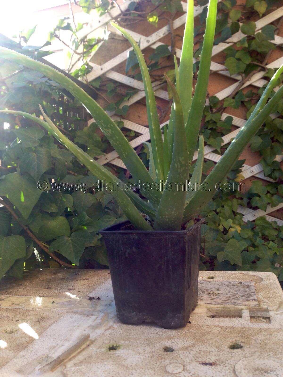 Plantas que purifican nuestra casa aloe vera plantas - Cuidados planta aloe vera casa ...