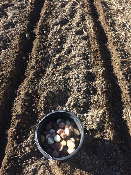 patatas-tempranas-cortadas-9-2-17