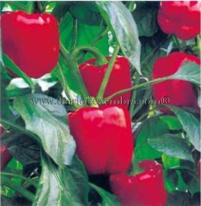 semillas-china-pimiento-mtpe035