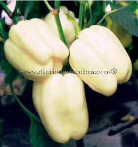 semillas-china-pimiento-mtpe036
