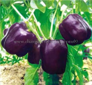 semillas-china-pimiento-mtpe038